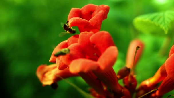 Trumpet Vine,Trumpet Creeper, Cow Itch Vine Or Hummingbird Vine With Bees