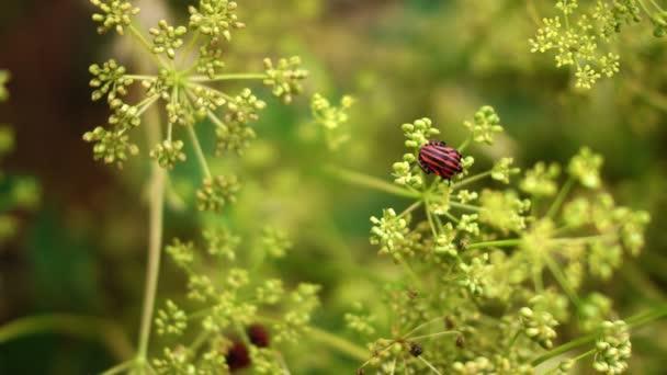 Červený brouků chyby Coleoptera páření na kopru květina, Pan