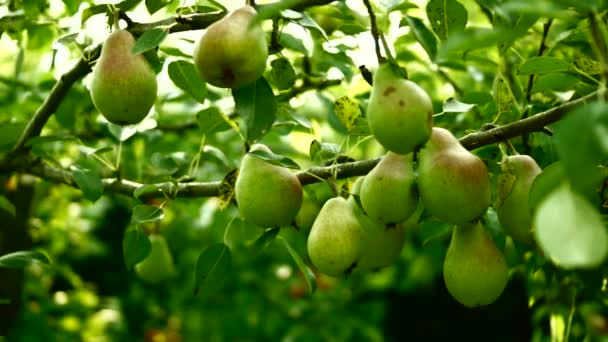 Unripe, Organic Pears On A Tree with wind