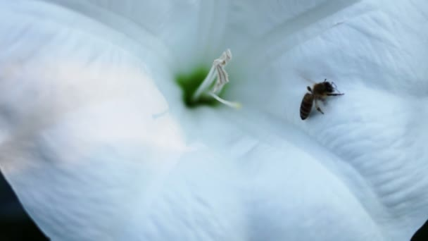 Angels And Devils Trumpet (Datura Inoxia), Moonflowers With Bee