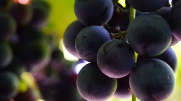 Red grapes on the vine, macro, tilt down