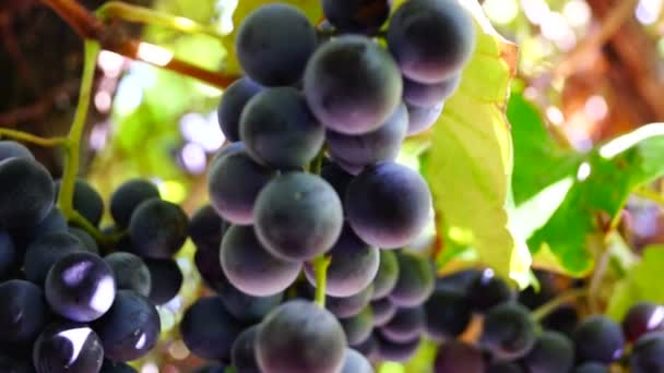 Red grapes on the vine, sound