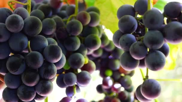 Red grapes on the vine moving slowly