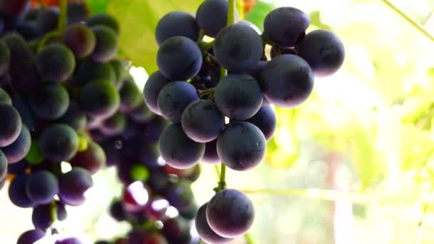 Red grapes on the vine, ready for harvest