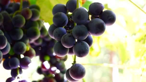 Červené hrozny na vinici, připraven na sklizeň