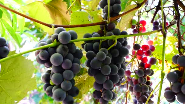 Red Grapes on the vine with sunshine and bee