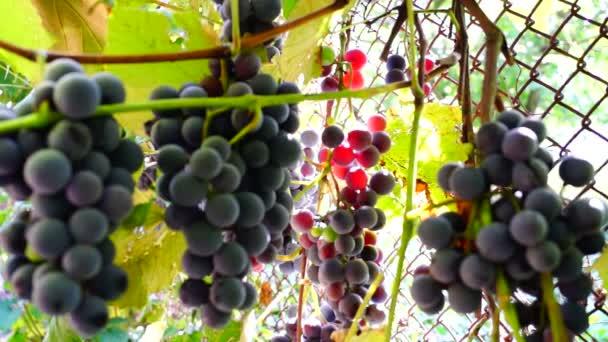 Červené hrozny na vinici s včela