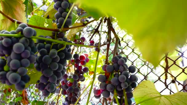 Vörös szőlő a szőlő, a szél