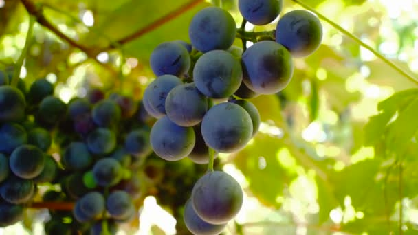 Red Grapes on the vine with breeze