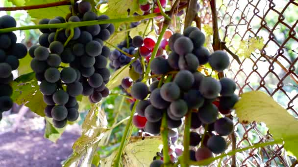 Red Grapes on the vine with cats paw