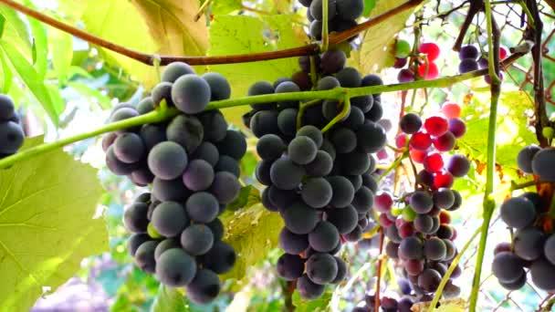 Červené hrozny na vinici s paprsek