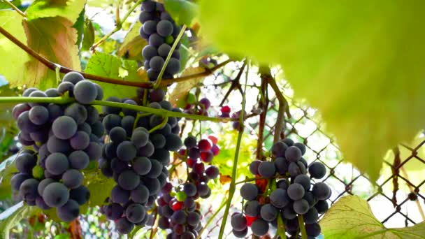 Cluster of wine grapes on vine in sunlight