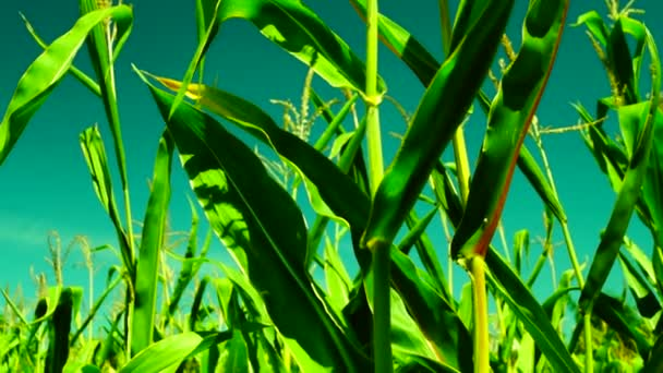 Barevný kukuřičné pole větru za slunečného dne, tilt dolů