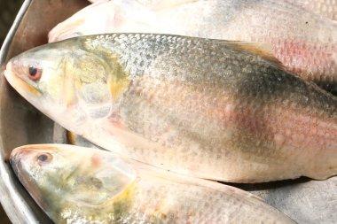 Ilish Hilsa Fish