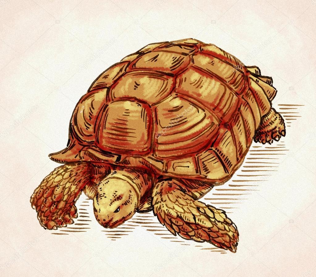 Ilustración De Tortuga Dibujo Tinta De Grabar Foto De Stock