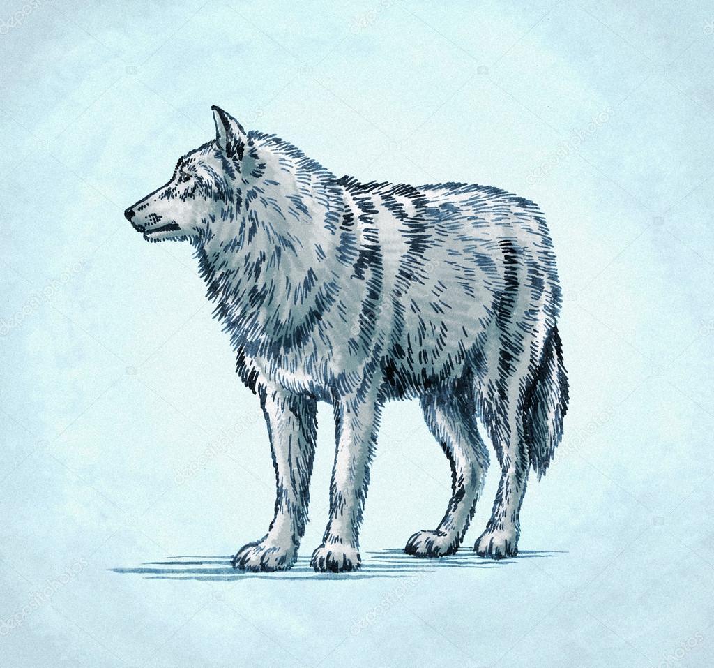 Color Grabar Ilustración De Lobo Tinta Dibujo Foto De Stock