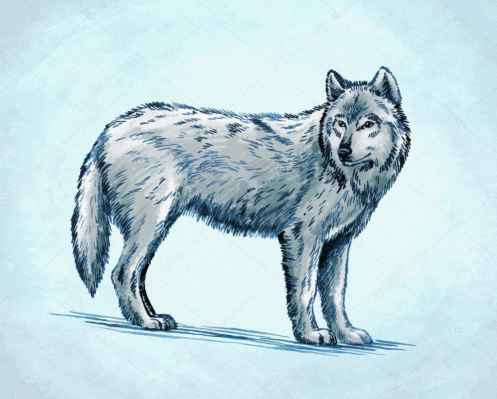 Color Grabar Ilustración De Lobo Tinta Dibujo Fotos De Stock