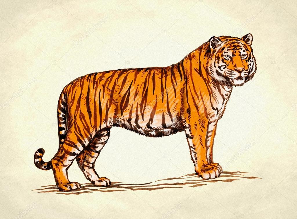 Dibujos Tigres Grabado Ilustración De Tigre Dibujo Tinta