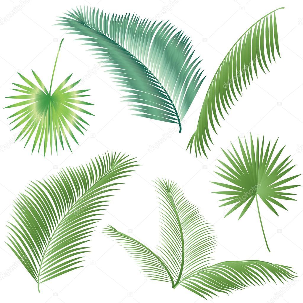 Conjunto del árbol de Palma hojas verdes. Hojas de Palma aislada ...