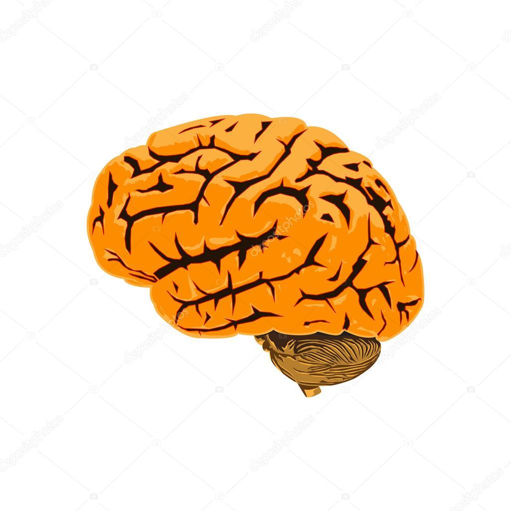 Illustration of the human brain