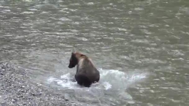 Medvěd grizzly v řece