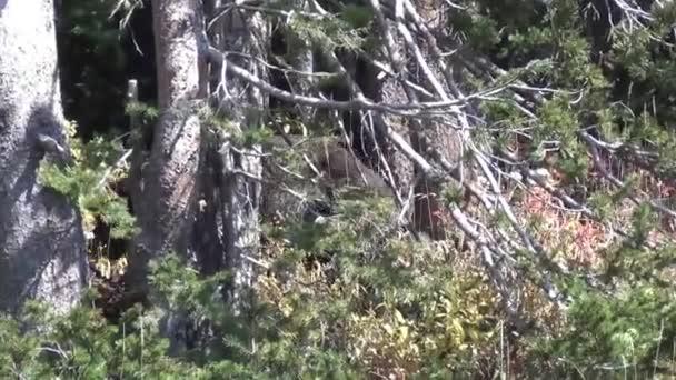 Medvěd grizzly, procházky v lese