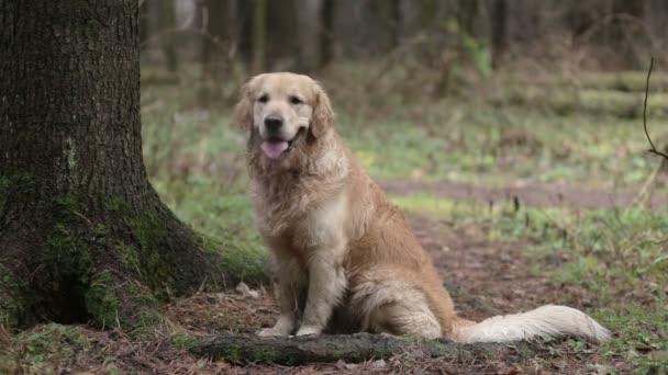 Zlatý retrívr pes v lese
