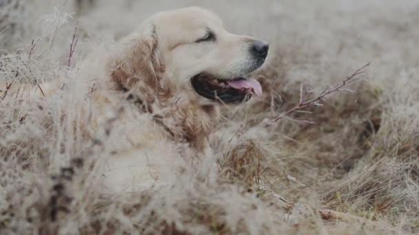 Golden Retriever Hund sucht