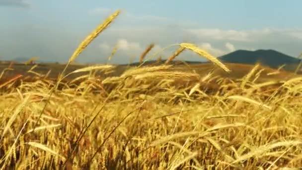 Kukuřice ve větru