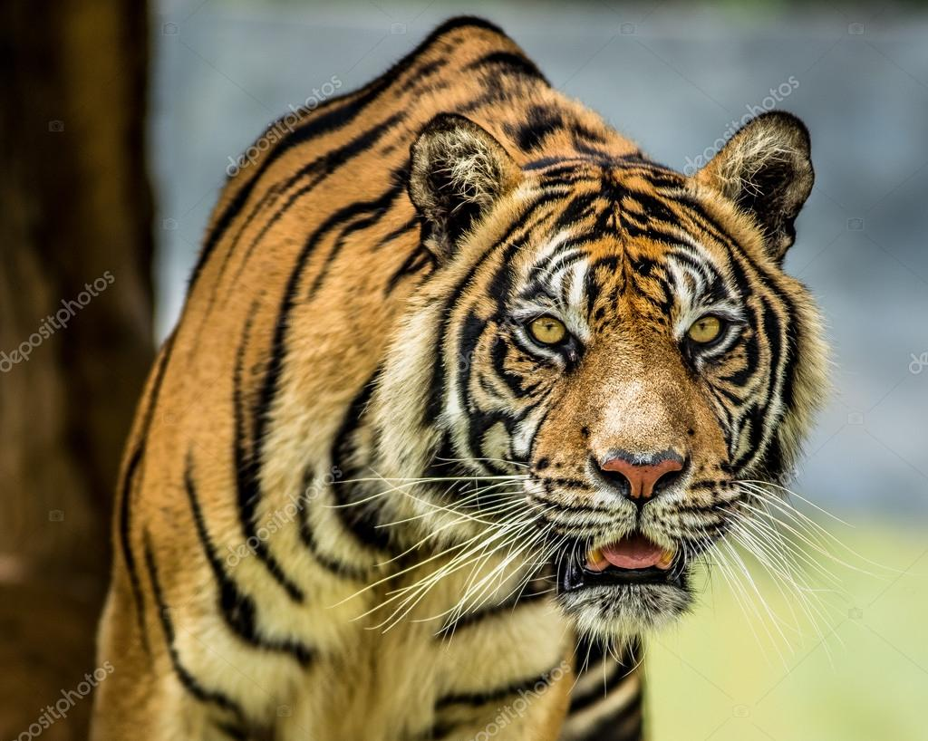 tiger eyes look hungry — Stock Photo © tejosusant.gmail ...