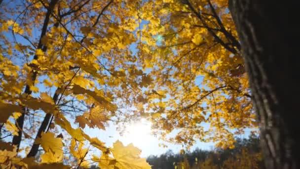 Zlaté javorové listy padají na zem v prázdném lese. Žluté podzimní listí pokrylo trávník v parku při západu slunce. Jasné sluneční světlo osvětluje přírodu. Krásné barevné podzimní období. Zavřít Zpomalený pohyb