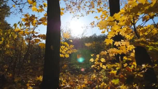 Zblízka žluté podzimní listí padá na zem v prázdném lese. Zlatý javor zakrývá trávník v parku při západu slunce. Jasné sluneční světlo osvětluje přírodu. Krásné barevné podzimní období. Zpomalený pohyb
