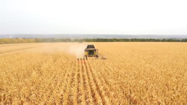 Légi felvétel a betakarító összegyűjtése kukorica termés a mezőgazdasági területeken. A gazdaságban végzett munka kombinálása betakarítás közben. Gyönyörű vidéki táj nagy búzamezővel a háttérben. Közelről.