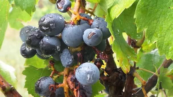 Hrozny na vinice v letce
