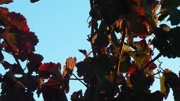Vine stock in autumn