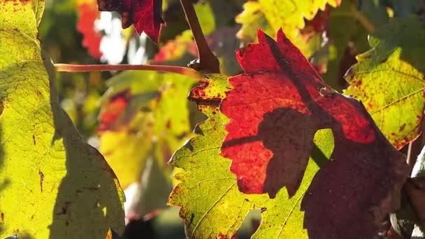 Západ slunce na hrozny na vinice