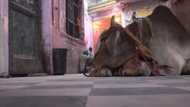 Mucca sulle rive del Gange a stato Uttar Pradesh in India 2014