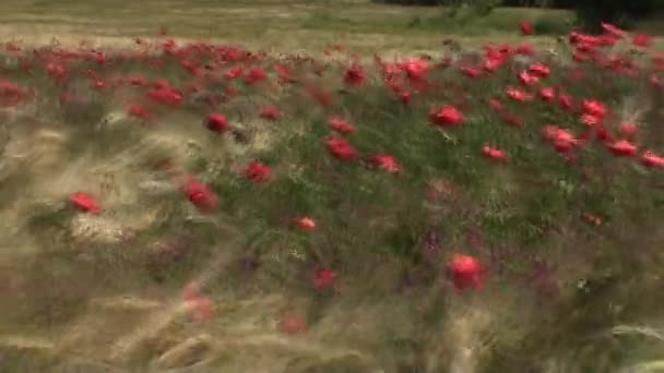 Poppy and flowers in french campaign stock video yorel1955 94332672 poppy and flowers in french campaign stock video mightylinksfo