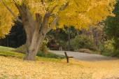 Fotografia Albero del ginkgo in autunno