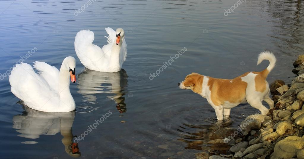 Curious dog with two swans