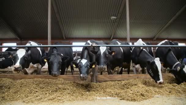 Allevamento di vacche da latte in una fattoria di bestiame