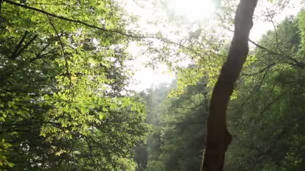 Panoráma stromů v lese. Slunečný les v paprscích slunce. Rays make their way through the branches of trees