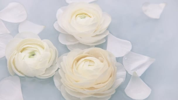 Weiße Blütenranunkelblüten schwimmen langsam im Wasser. Zeitlupe.