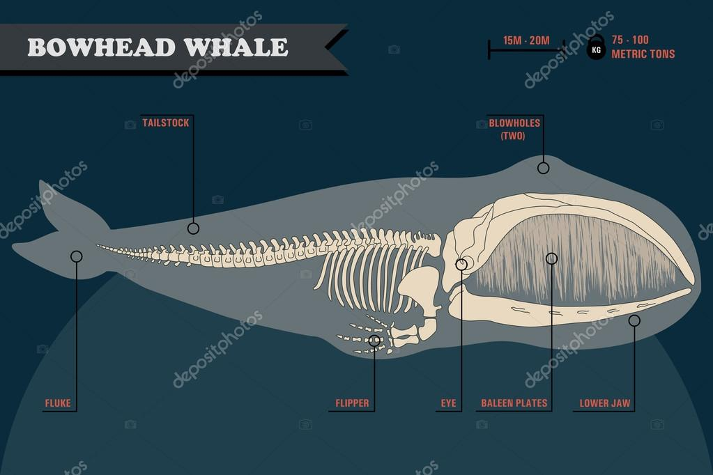 Bowhead Whale Skeleton Stock Vector Spoiledmilk 107323810