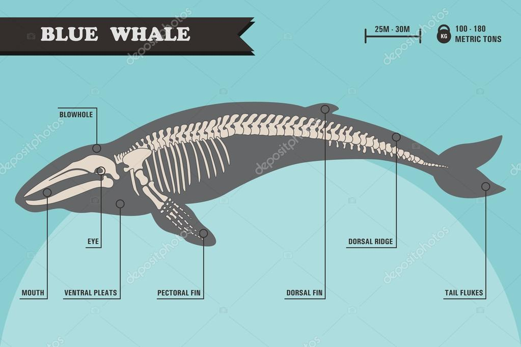 Esqueleto de ballena azul — Archivo Imágenes Vectoriales ...