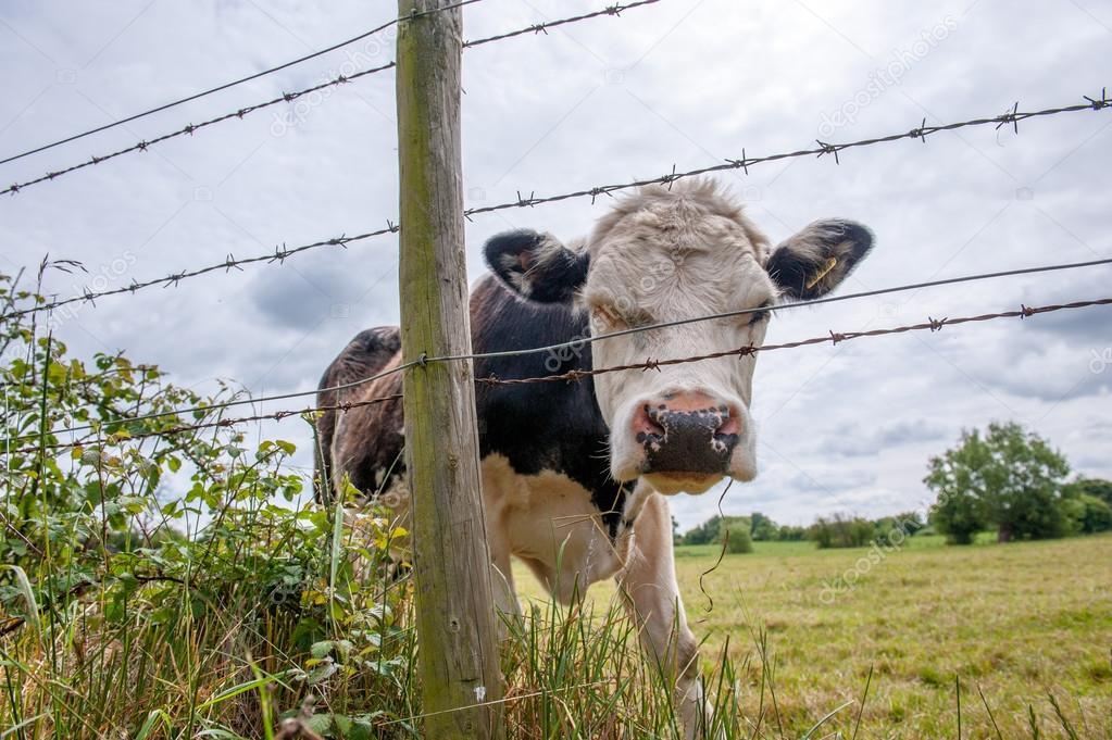Nahaufnahme von schwarzen und weißen Kühe Kopf Draht Grenze ...