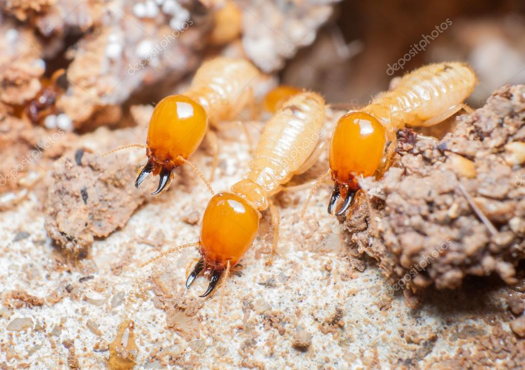 Close Up Termites Or White Ants In Nest Stock Photo C Arthito 123731462