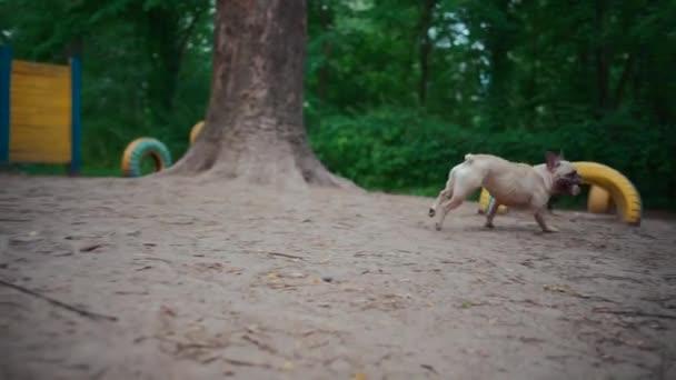 aktív francia bulldog vagy kisállat kutya fut, és játszani bottal játszótéren nyáron