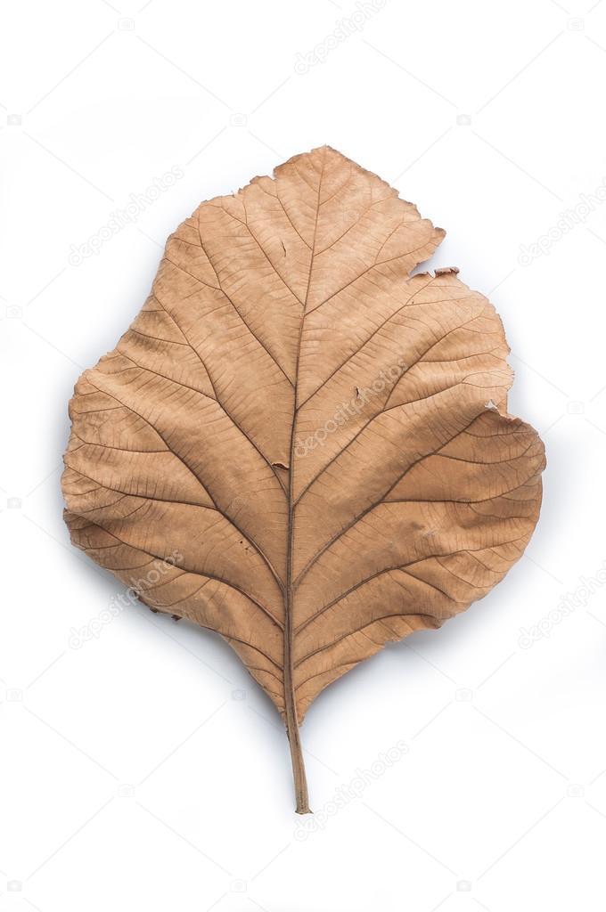 Dry leaves on white background, Teak leaves  — Stock Photo