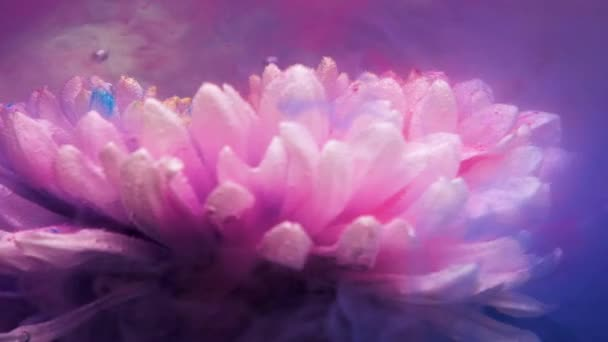 The white chrysanthemum flower swirls under the water in blue pink and purple flowers. Bubbles rise up